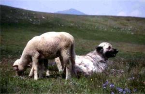 Montagne-chien-couche-agneau