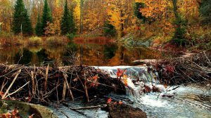 85744__beaver-dam-in-an-autumn-canadian-forest_p