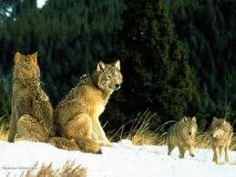 Loups(1)